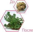 Трегалоза: восстановление Selaginella lepidophylla после засухи